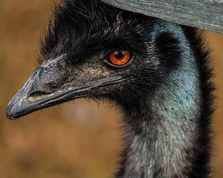 emu 204844 640 - Emu