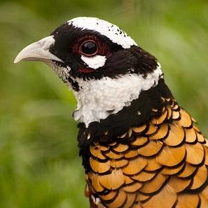 Reevess Pheasant - Pheasants