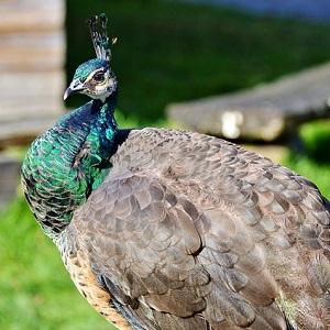 bird 2982789 640 1 - Peafowls