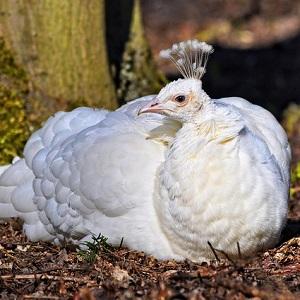 white peahen 3240865 640 1 - Peafowls
