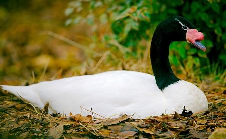 12 - Swans