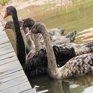 Black Swans - Swans