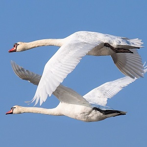 nature 3181885 1280 - Swans