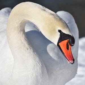 swan 3184089 1280 - Swans