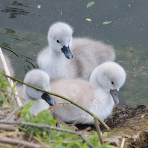 swan chicks 2357844 1280 - Swans