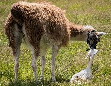 10 1 - New-World Camelids