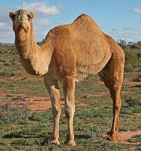 12 1 - Old-World Camelids
