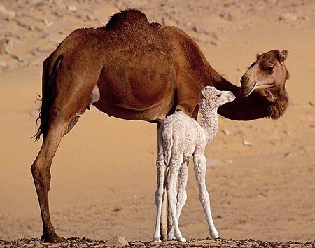 20 - Old-World Camelids