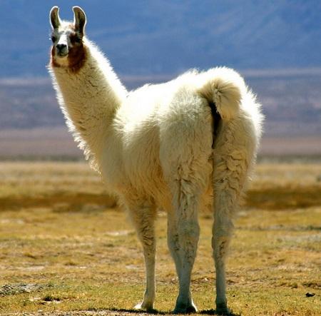 7 1 - New-World Camelids