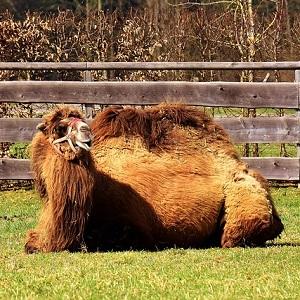 Bactrian Camel 1 - Old-World Camelids