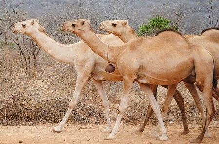 africa 2042780 640 - Old-World Camelids