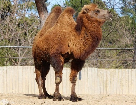 camel animals zoo 652311 - Old-World Camelids
