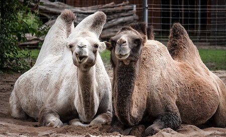 camels 2651725 1280 - Old-World Camelids