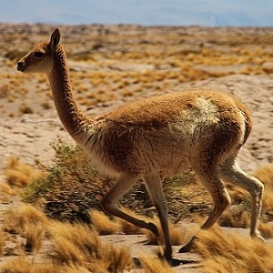 chile 1053632 640 - New-World Camelids