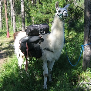 llama 175602 1920 - New-World Camelids