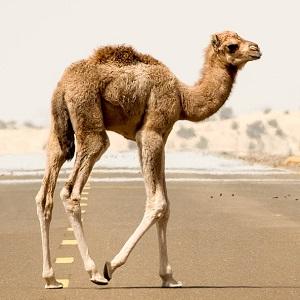 sand 3023382 1920 - Old-World Camelids