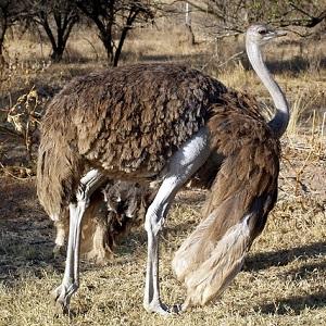 A female Ostrich - Ostriches