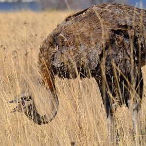 ostrich 384157 640 - Ostriches