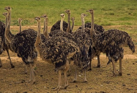 6252703245 dcb0da1bf5 z - Ostriches