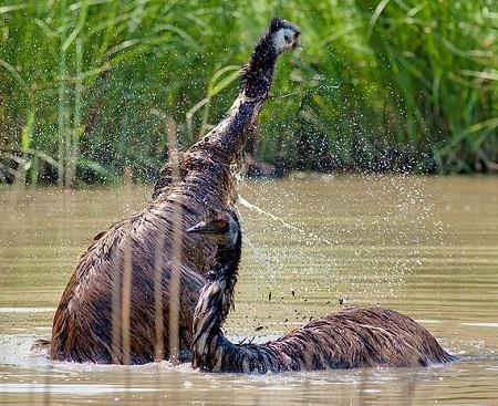 9 - Emu