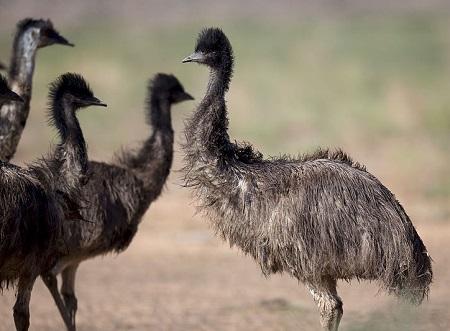 A close encounter 17968372636 - Emu