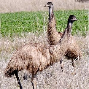 emu 2791107 1280 - Emu
