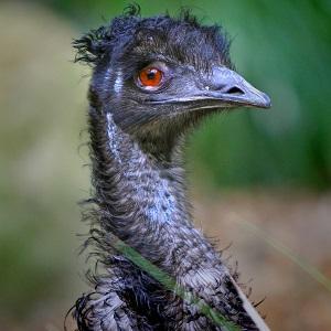 emu 61195 1280 - Emu