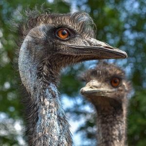 emu australia 3479506 1280 - Emu