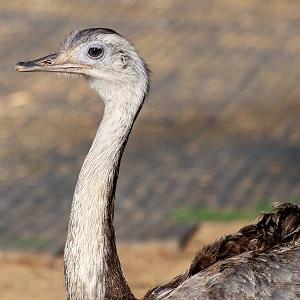 rhea bird 3302821 1280 - Rheas