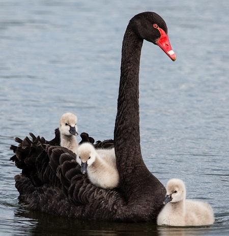 10399204965 b90bf9899e h - Swans