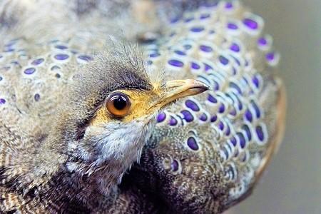 The Grey Peacock Pheasant - Pheasants