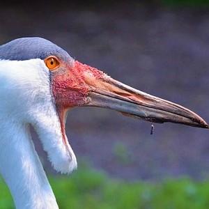 The Wattled Crane - Cranes