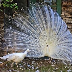 White Peafowls - Peafowls