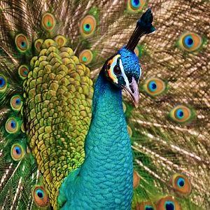 admin ajax - Peafowls