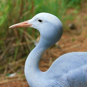 blue crane bird 235789 640 1 - Cranes