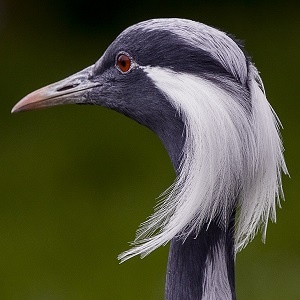 demoiselle crane 1534786 1280 - Cranes