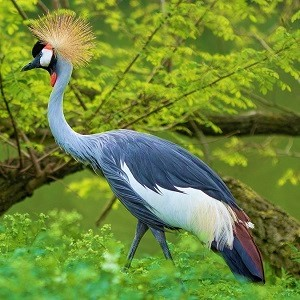 koronnik 3382986 1280 1 - Cranes