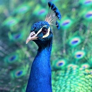 peacock 1209474 - Peafowls