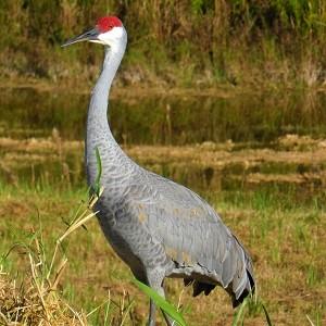 sandhill crane 507535 1280 - Cranes