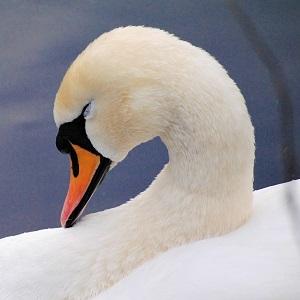 swan 1975443 1280 - Swans