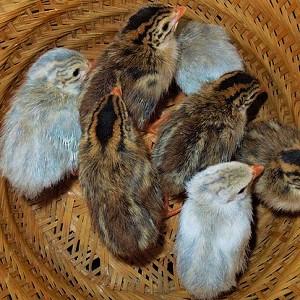 Keets - Guineafowls