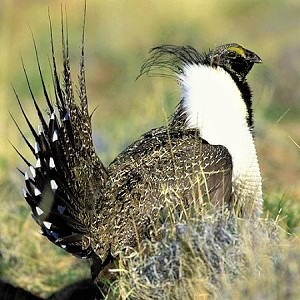 The Greater Sage Grouse - Grouse