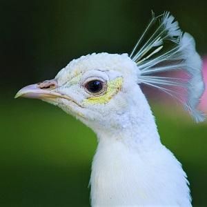 peacock 1159135 1280 1 - Peafowls