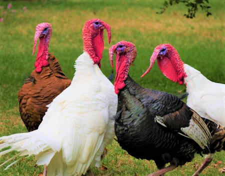 turkeys - Turkeys