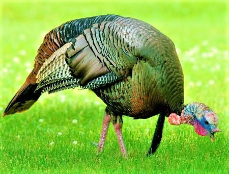 18 - Turkeys