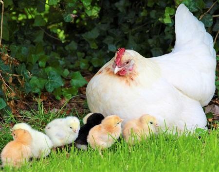 25 - Chickens