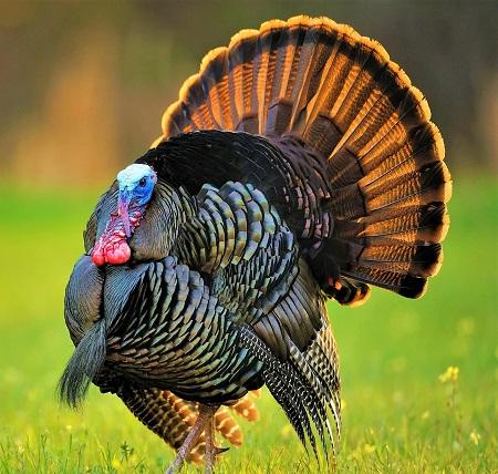 29 - Turkeys