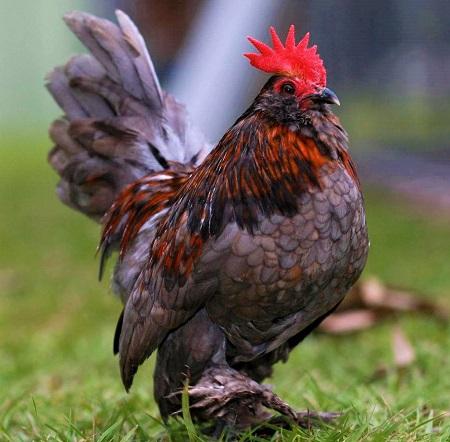 7 - Chickens