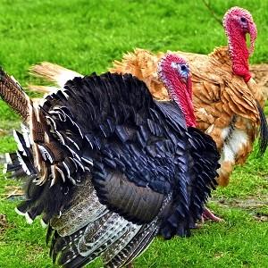 Turkeys 1 - Turkeys