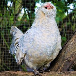 bird 3049733 1280 - Chickens